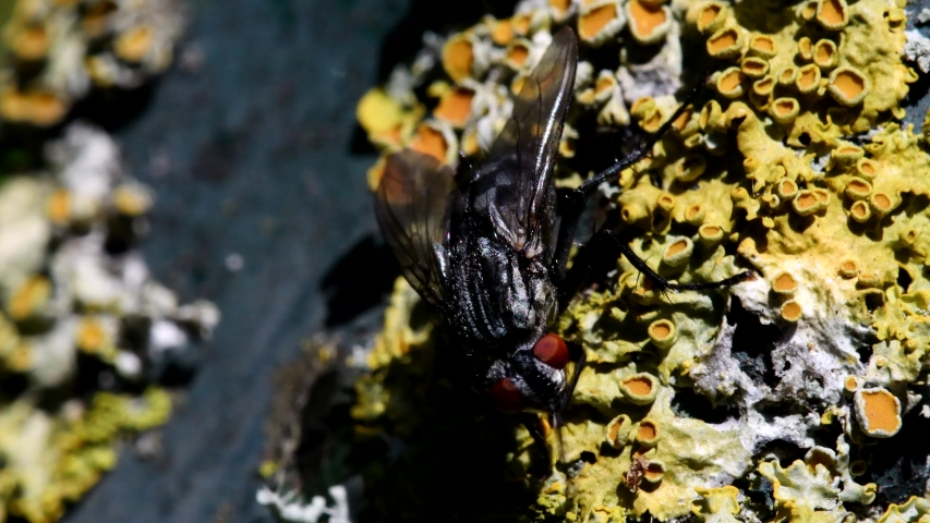 Close Up movie - Common Flesh Fly on a leaf. Her Latin name is Sarcophaga carnaria.   Shutterstock HD Video #1053080888