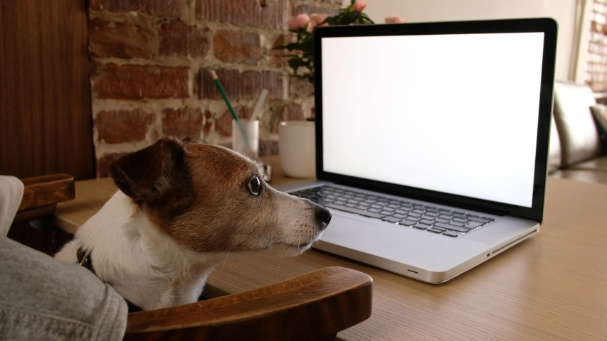 Dog looking to computer screen. Freelancer working from home. Watching movie from laptop. Video footage. Stay at home. Freelancer work from home during quarantine Social distancing lifestyle | Shutterstock HD Video #1053095402
