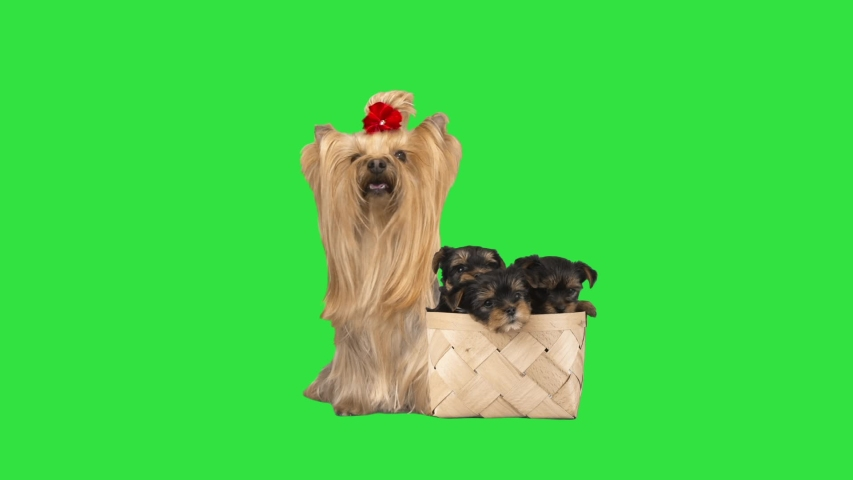 Yorkshire Terrier and puppies in a basket on a green screen | Shutterstock HD Video #1053100097