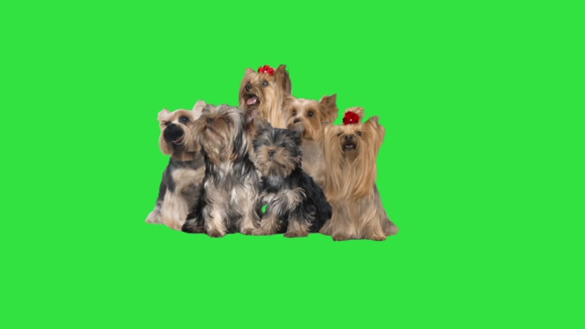Group yorkshire terrier on a green screen | Shutterstock HD Video #1053100511