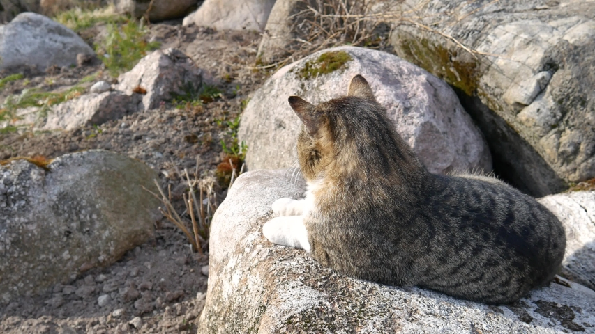 The pet cat sits on a large stone. Predatory cat on a rock. The cat is waiting for the mouse. Hunting in the wild. | Shutterstock HD Video #1053150500