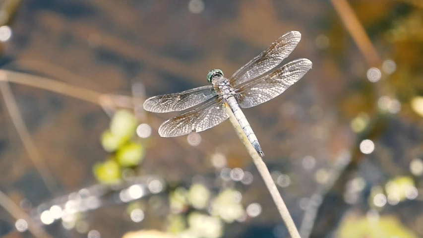 Dragonfly resting on a twig and taking off in slow motion