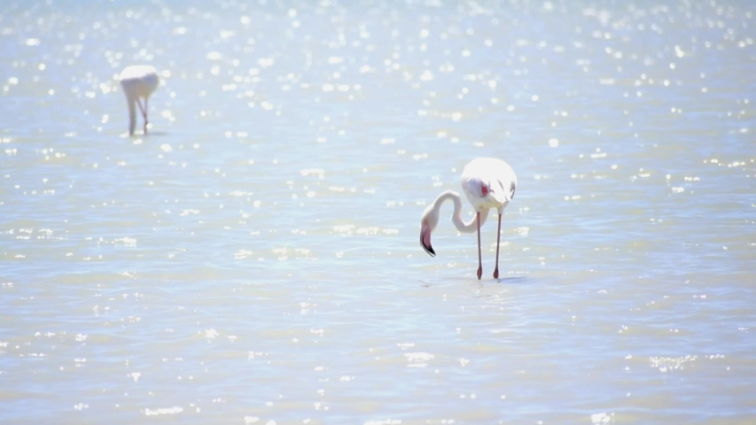 Group of Phoenicopterus rubers commonly known as Greater Flamingos catch fish on a lake. Flamingos in shallow water. Spain, 2019. Animals in the wild. Wildlife flamingo bird.