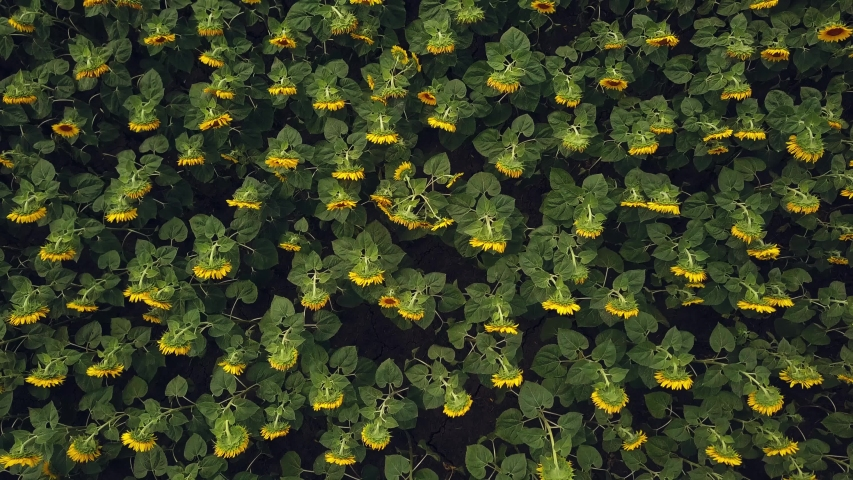 Aerial view of a big sunflower field blooming with a beautiful golden color. Top view. 4K.