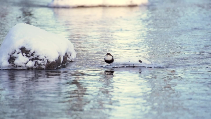 White-throated Dipper, Cinclus cinclus, brown bird with white throat dive in the Finnish river. Cold winter day, lots of snow and ice. | Shutterstock HD Video #1053171572