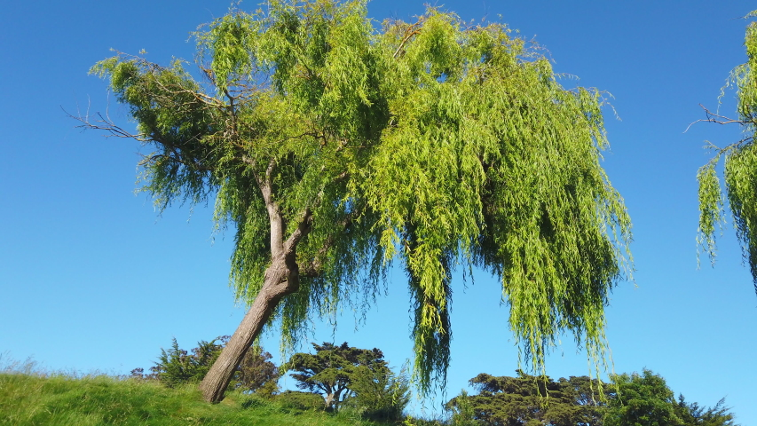 large, wind-swept leaning weeping willow tree in park setting against deep blue sky, 4K