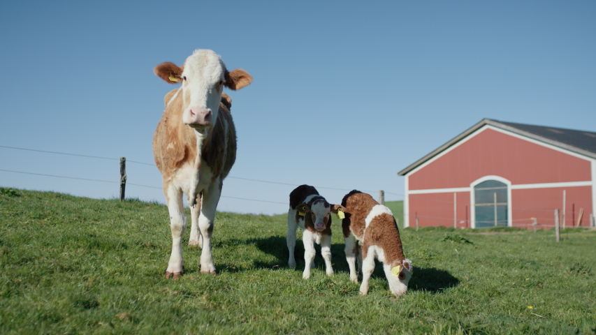 Cow with Two Young Calves Outside on the Green Grass with the Cattle Barn Behind