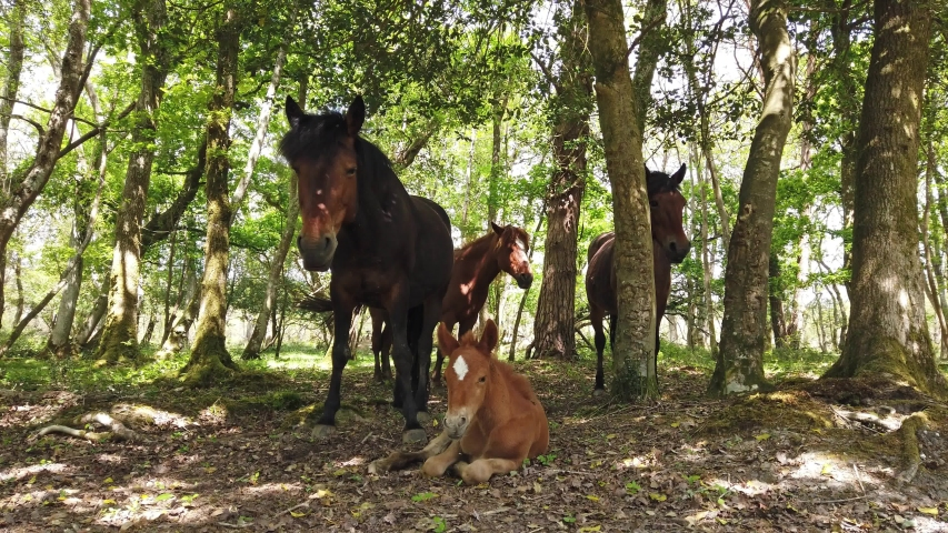 Young foal sits with its mother in the New Forest in Hampshire, UK.