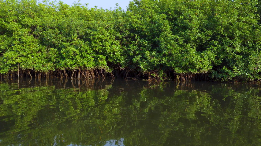 Visiting the Mangroves of La Tovara Wetlands National Park. a Ramsar Site, of Matanchen Bay by the Pacific Ocean in Riviera Nayarit the coastline of Nayarit State of Mexico in Central America, America