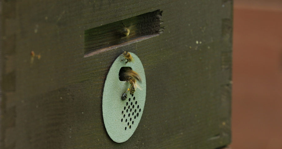 Detail of crowded gate into wooden bee hive. Bees arriving with legs wrapped by yellow pollen. Bees leaving hive and flying for new batch of pollen. Production of sweet honey. Bees working hard.   Shutterstock HD Video #1053212501