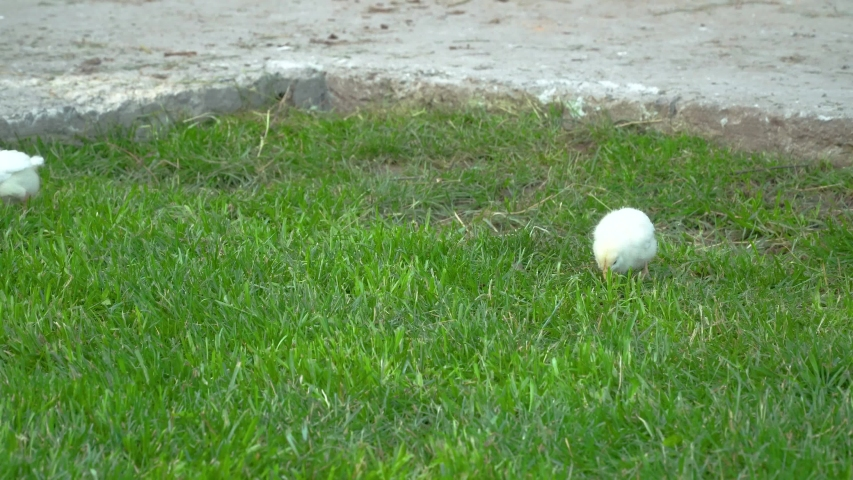 Little yellow chickens run through the green grass. Poultry farm