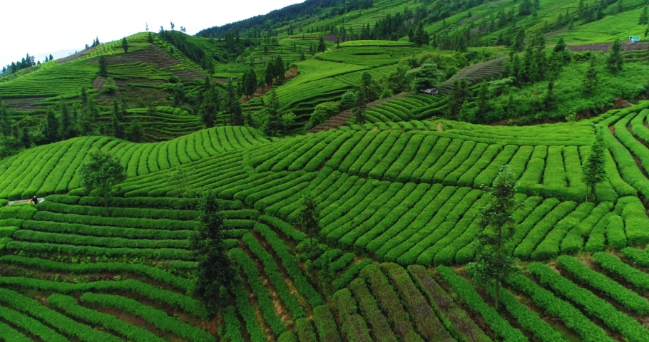 Aerial view of fresh green tea terrace farm on the hill at Sichuan China drone camera moving close to the tea plantation with mountain landscape 4k footage Royalty-Free Stock Footage #1053219989
