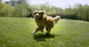 Happy and active golden retriever dog running on green grass in a sunny park outdoors. Footage in 4K and HD. Download preview for free.
