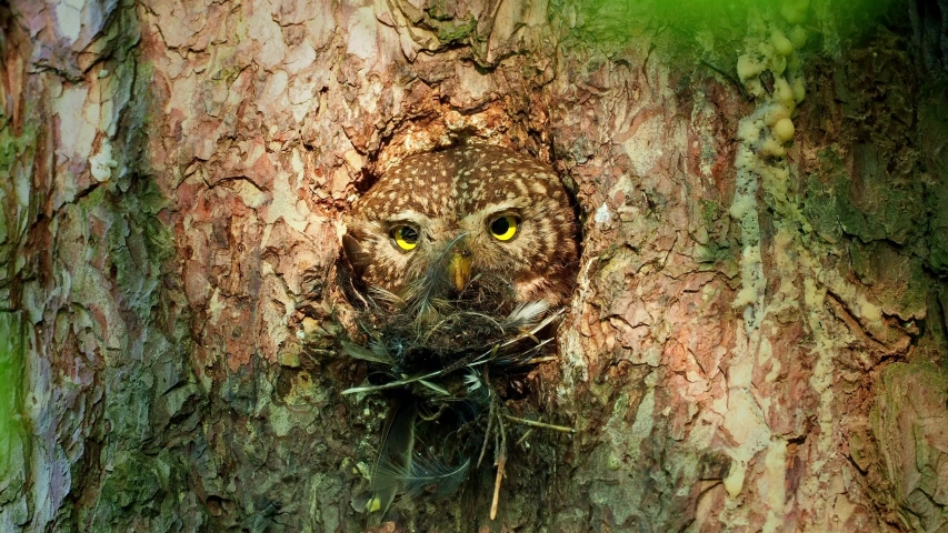 Eurasian Pygmy-Owl Glaucidium passerinum looking from the nest hole in the forest. Small european owl looking from the nesting hole and cleaning it from the rest of hunted prey, face to face and eyes.   Shutterstock HD Video #1053227792
