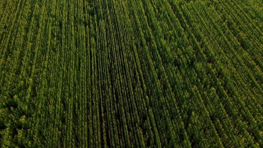 Drone flying over a field of young wheat during sunset | Shutterstock HD Video #1053309626