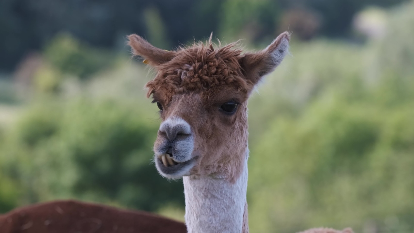 Alpaca Animal Close Up Of Head  Funny Hair Cut And Chewing Action