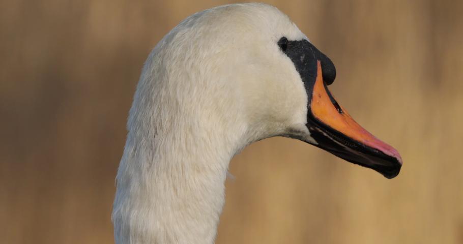 Portrait of mute swan, cygnus olor.