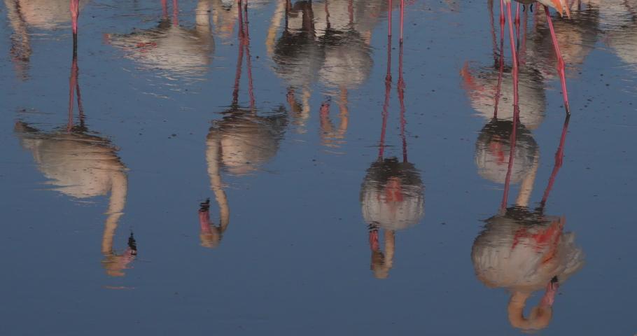 Greater Flamingos, Phoenicopterus roseus,Pont De Gau,Camargue, France