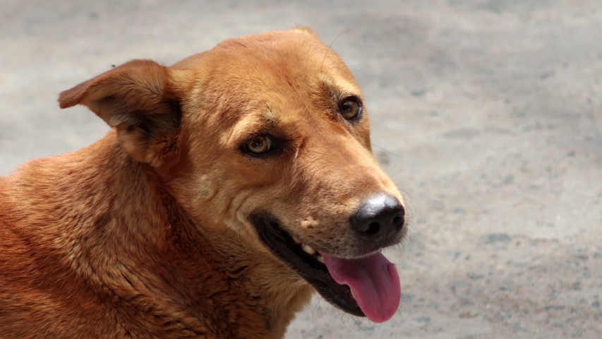 4K Video : Young brown street dog relaxing on road during day time.   | Shutterstock HD Video #1053367973