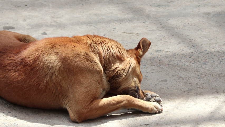 4K Video : Young Indian brown street dog relaxing on road during day time.   | Shutterstock HD Video #1053368345