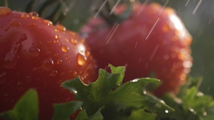 Beautiful red ripe tomatoes grown in a greenhouse, drops of water macro video. Raw organic vegetables food fresh tomato cherry. Detox diet fresh tomato. Organic harvest in garden, farming, agriculture