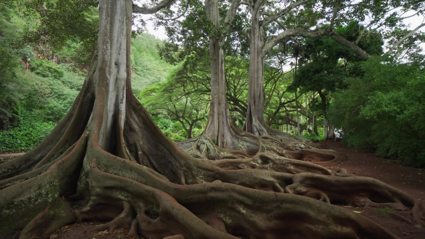 Most famous trees of Hawaii. Tree with huge roots. Large buttresses and plant root in handheld gimbal shot. Natural plants in tropical botanical garden. Moreton Bay Fig tree.