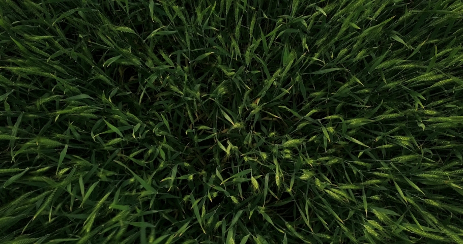 View of green wheat from a height, drone | Shutterstock HD Video #1053395891