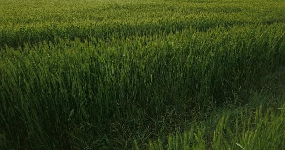 Low flight over green spikelets of wheat | Shutterstock HD Video #1053395894