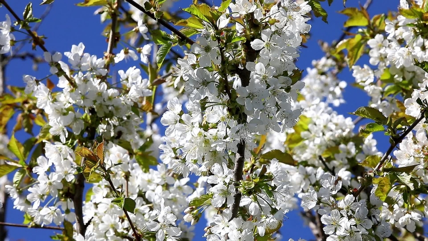 A close-up of a cherry branch in white flowers, profusely blooming, swaying in the wind against a blue sky background.Russia | Shutterstock HD Video #1053401558