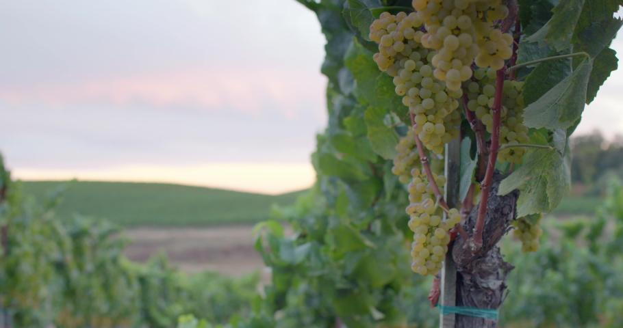 Sonoma Wine Vineyard 4K 24FPS | Shutterstock HD Video #1053403811