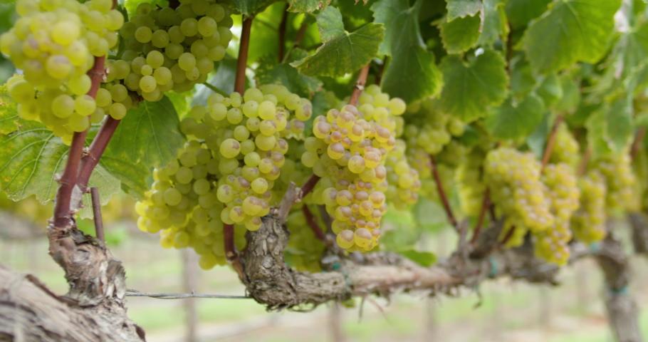 Sonoma Wine Vineyard 4K 24FPS | Shutterstock HD Video #1053403841
