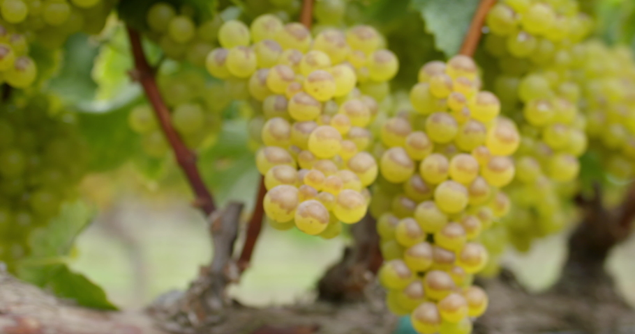 Sonoma Wine Vineyard 4K 24FPS | Shutterstock HD Video #1053403844