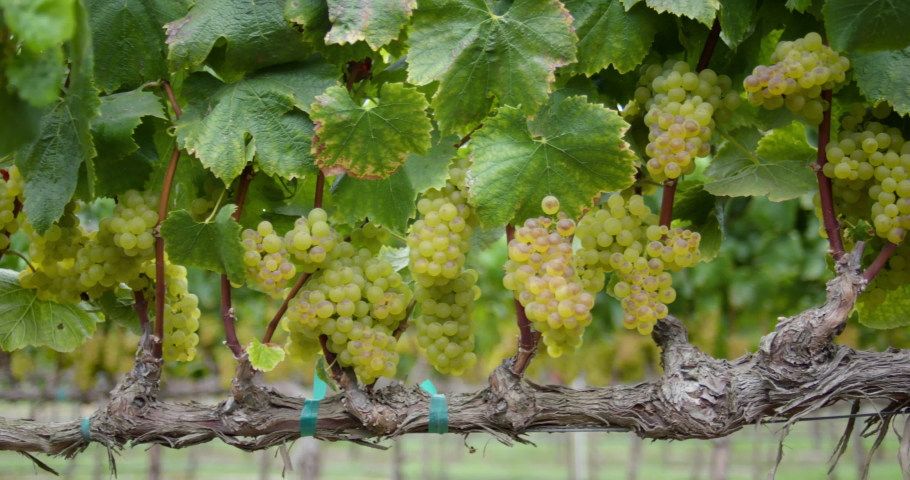 Sonoma Wine Vineyard 4K 24FPS | Shutterstock HD Video #1053403847