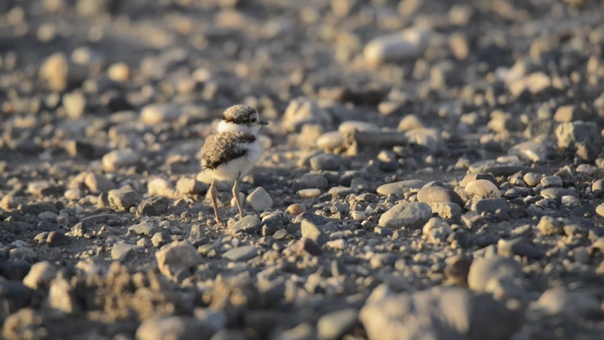 Baby Little Ringed Plover Charadrius dubius | Shutterstock HD Video #1053407867