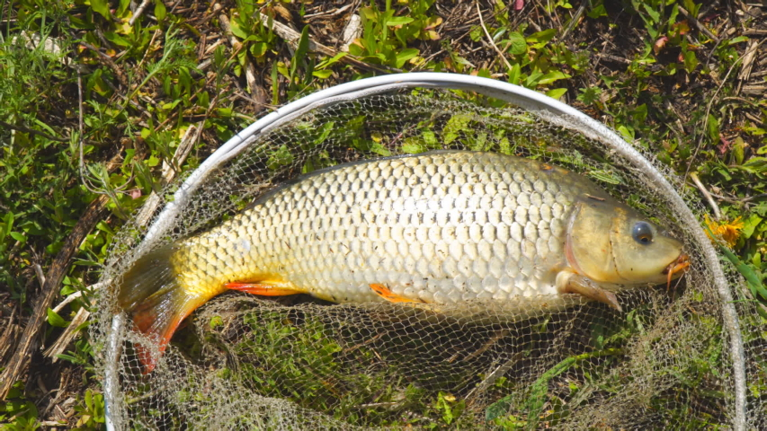 A freshly caught carp in a fishing landing net lies on the grass, opens its mouth and moves its fins and gills | Shutterstock HD Video #1053414575