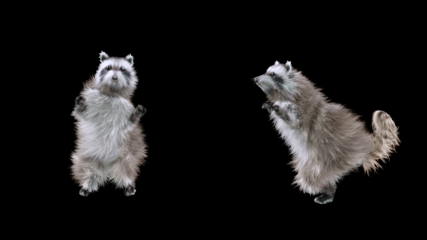 Raccoon Dance CG fur 3d rendering animal realistic CGI VFX Animation Loop composition 3d mapping cartoon, with Alpha matte | Shutterstock HD Video #1053422864