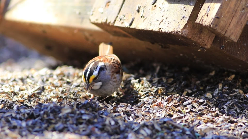 White-throated Sparrow eating seeds on the ground | Shutterstock HD Video #1053433475