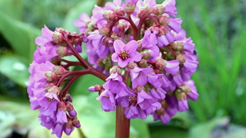 Medicinal plant with beautiful flowers bear's ear or badan | Shutterstock HD Video #1053463313