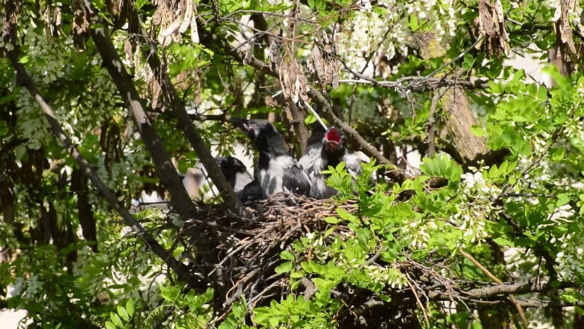 Close-up of fledged gray chicks crow Corvus cornix on a hot day in a nest on an acacia tree Robinia pseudoacacia in the foothills of the North Caucasus | Shutterstock HD Video #1053466307