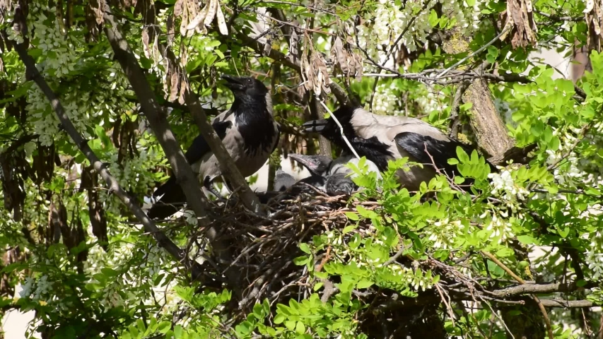 Family crow Corvus cornix with spring May gray chicks in spring in a nest on an acacia tree Robinia pseudoacacia in a foothill park in the North Caucasus | Shutterstock HD Video #1053466310