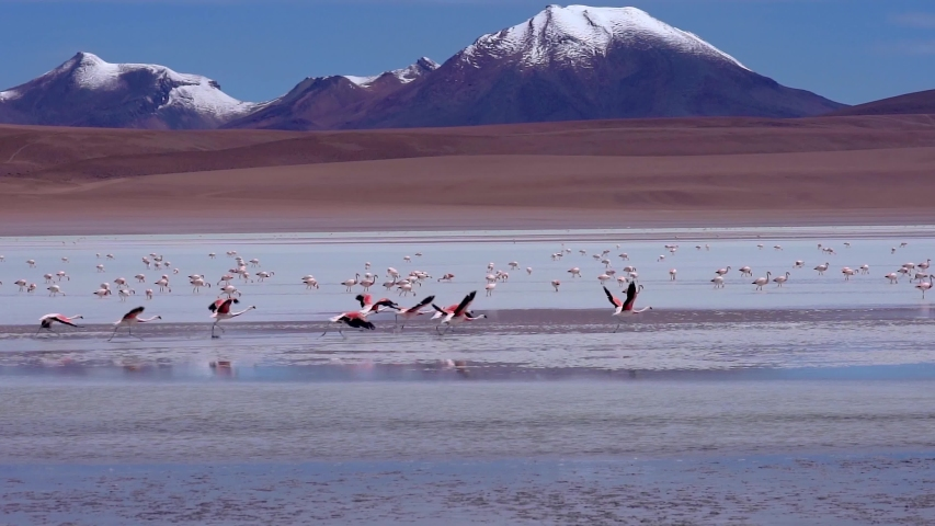 Flamingos taking off and flying in slow motion Close to Water at colorful blue lake with snowy Mountains in Distance. Near Salar de Uyuni, Bolivia, South America | Shutterstock HD Video #1053471803