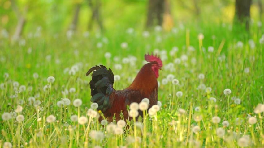 A rooster walks on the green grass | Shutterstock HD Video #1053473297
