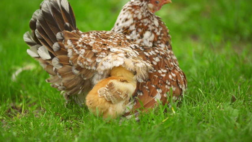 Chickens hide from the wind under their mom | Shutterstock HD Video #1053473303
