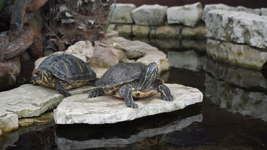 Water turtles sunbathe in a fountain | Shutterstock HD Video #1053492911
