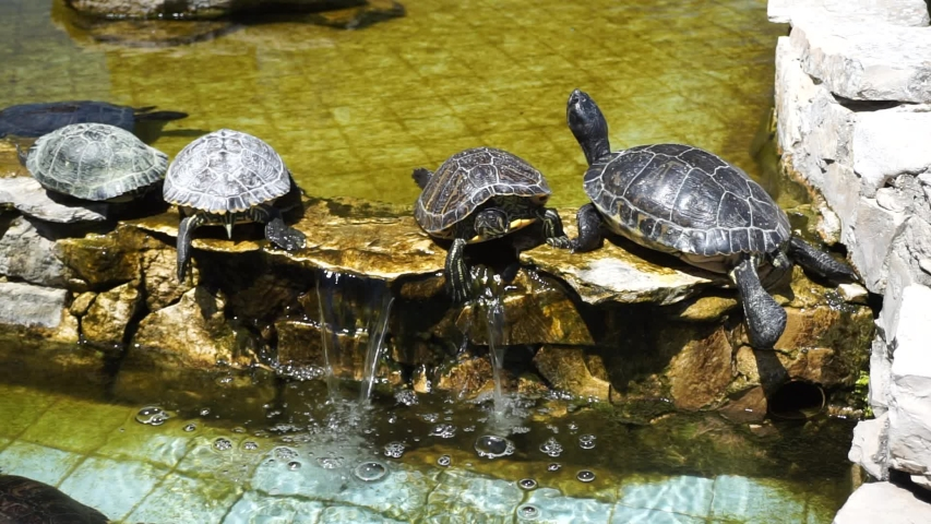 Water turtles sunbathe in a fountain | Shutterstock HD Video #1053493322