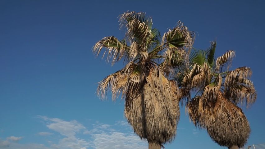 The Californian palms (Washingtonia filifera, (Lindl.) H. Wendl.), Palm native to southern California, southwestern Arizona and northern Mexico, resumed on the seafront in Ostia, Rome. | Shutterstock HD Video #1053493508