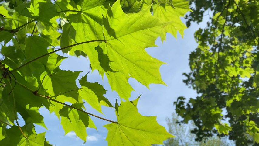 Colorful green maple leaves sway in the wind against a blue sky. 4K | Shutterstock HD Video #1053501821