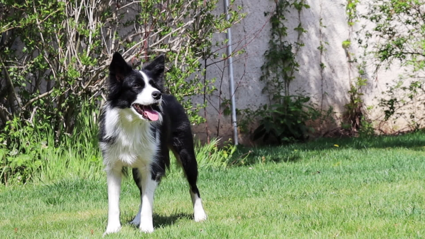 Border Collie Doing Tricks in the Garden in Czech Republic. Black and White Dog Doing Paws Up. | Shutterstock HD Video #1053502628
