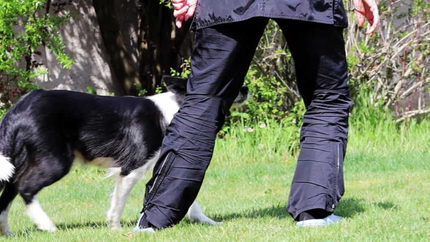 Fast Motion Border Collie Doing Leg Weave. Black and White Dog Doing Eight Trick in the Garden in Czech Republic. | Shutterstock HD Video #1053502631