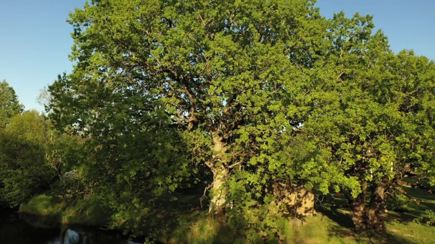 Old giant oak filming from down to top | Shutterstock HD Video #1053504884
